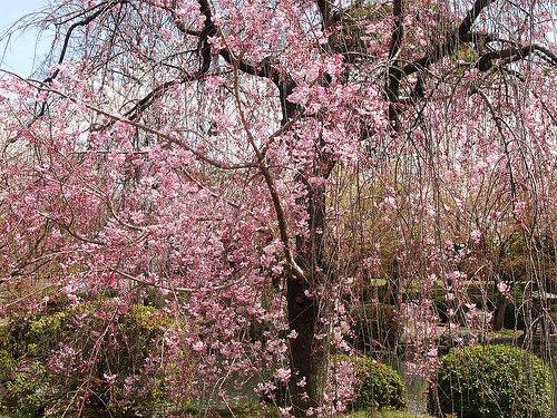 桜にまみれた京都・奈良旅行!桜のアルバム作りました