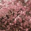 永遠の憧れカラー~私の好きなピンクたち