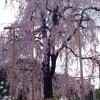 桜三昧の旅!日本の春は美しい