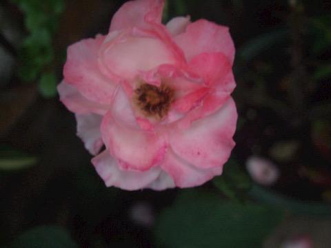 バラの夕暮れ