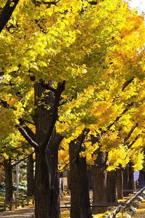 秋におすすめクラシック!ブラームスの交響曲第2番はイチョウの並木道の調べ #七ブ侍 #アキバナ
